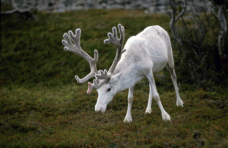 Weißes Rentier am Nordkap