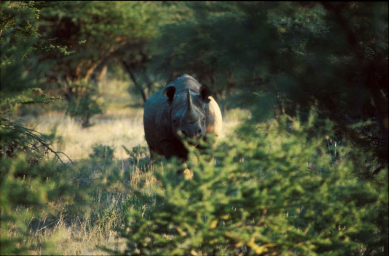 Weisses Rhino