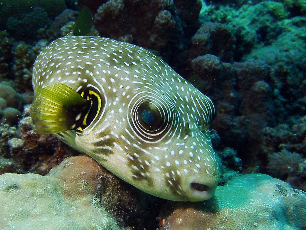 Weißfleckenkugelfisch