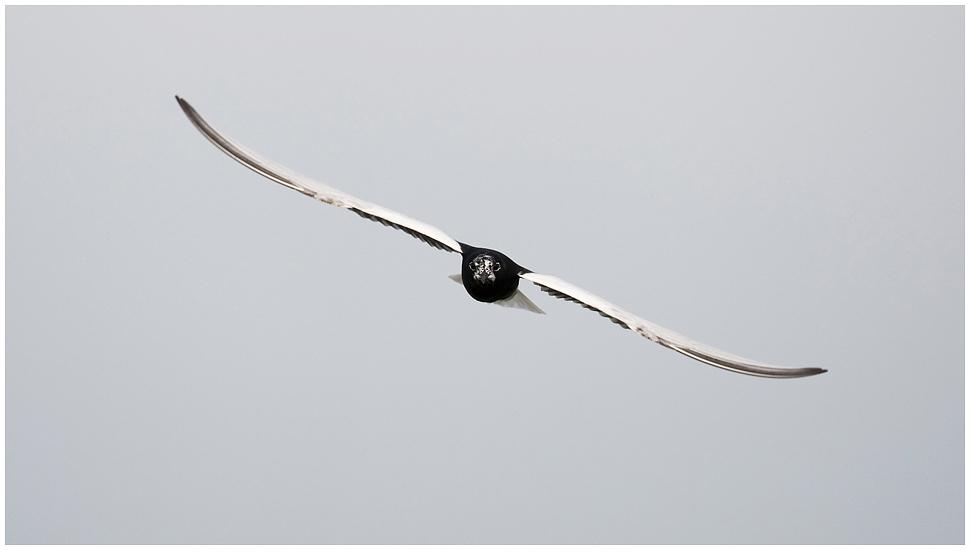 Weissflügelseeschwalbe, frontal