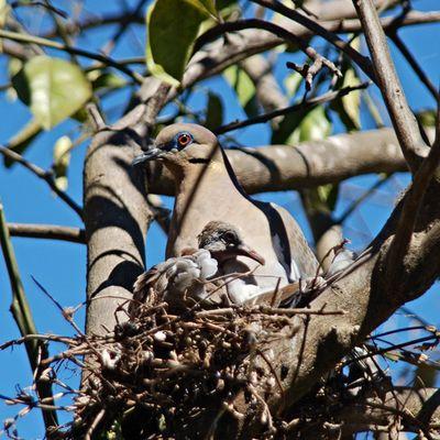 Weißflügeltaube mit Jungvogel im Nest