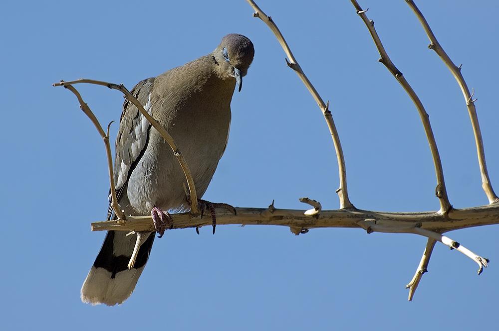 Weißflügeltaube - White-winged Dove (Zenaida asiatica)