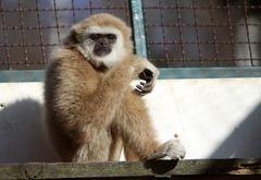 Weisshand Gibbon