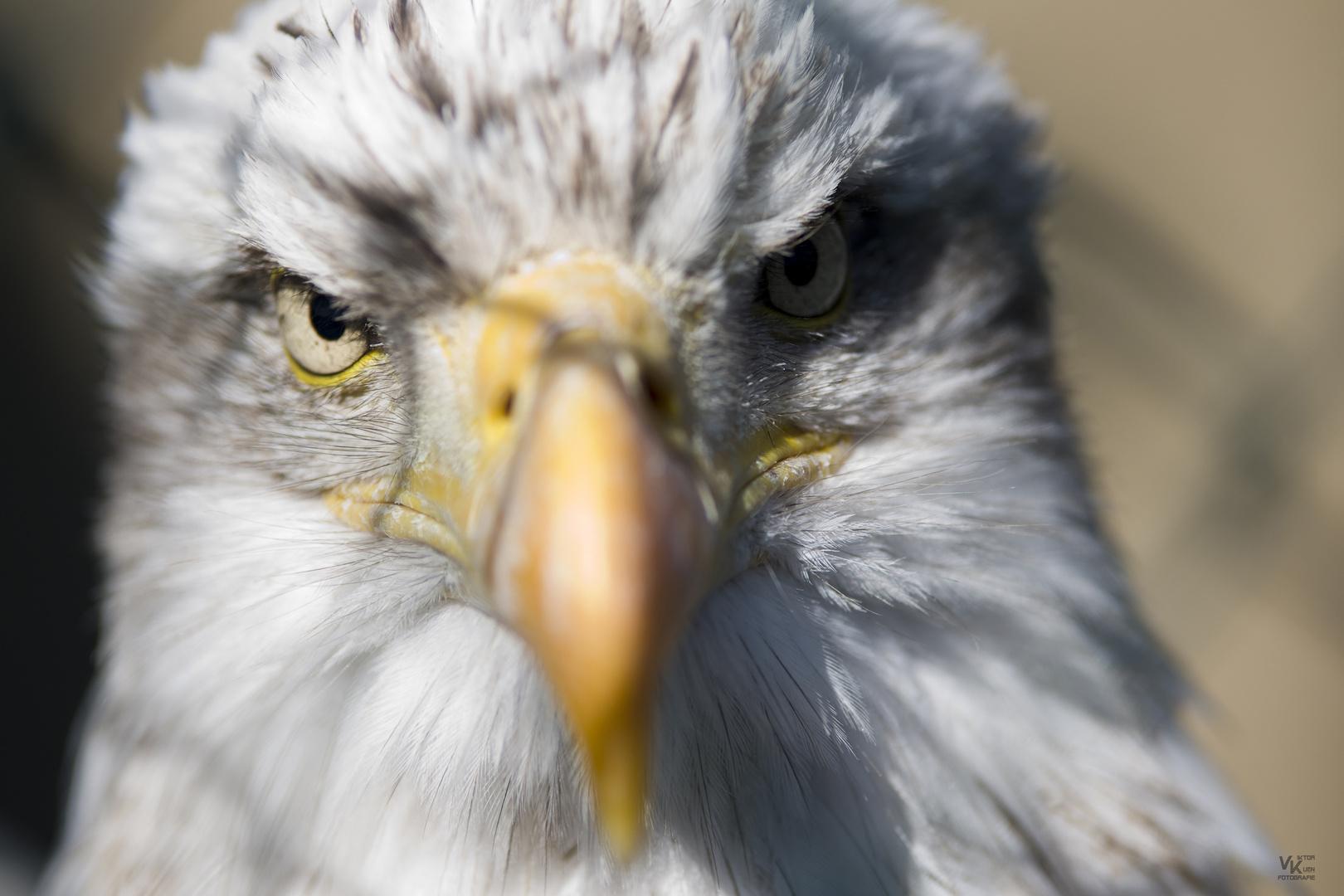 Weißkopf Adler