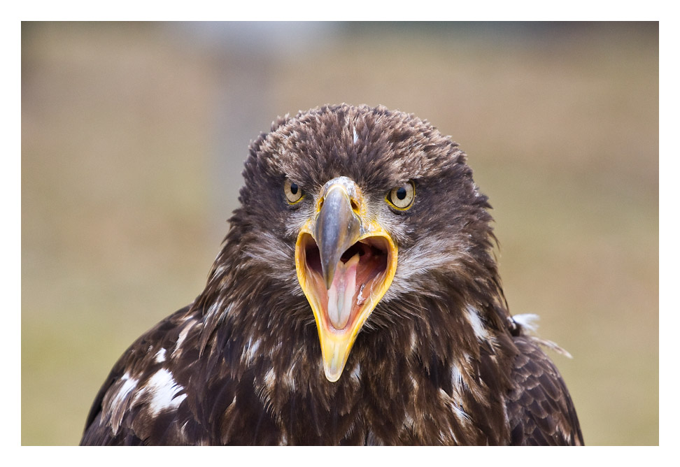 Weisskopf Adler