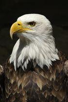 Weißkopf-Seeadler (der Amerikaner)