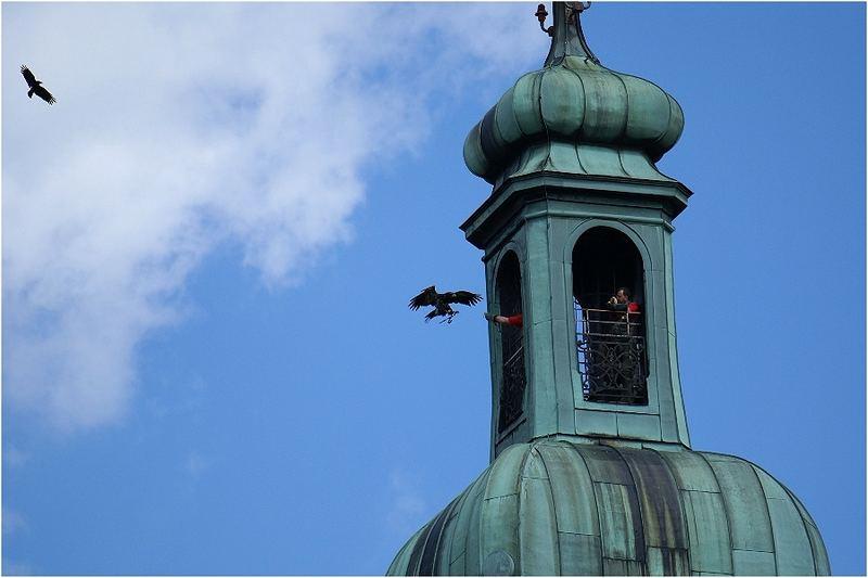 Weißkopf- Seeadler, USA und Seeadler, Europa im Anflug