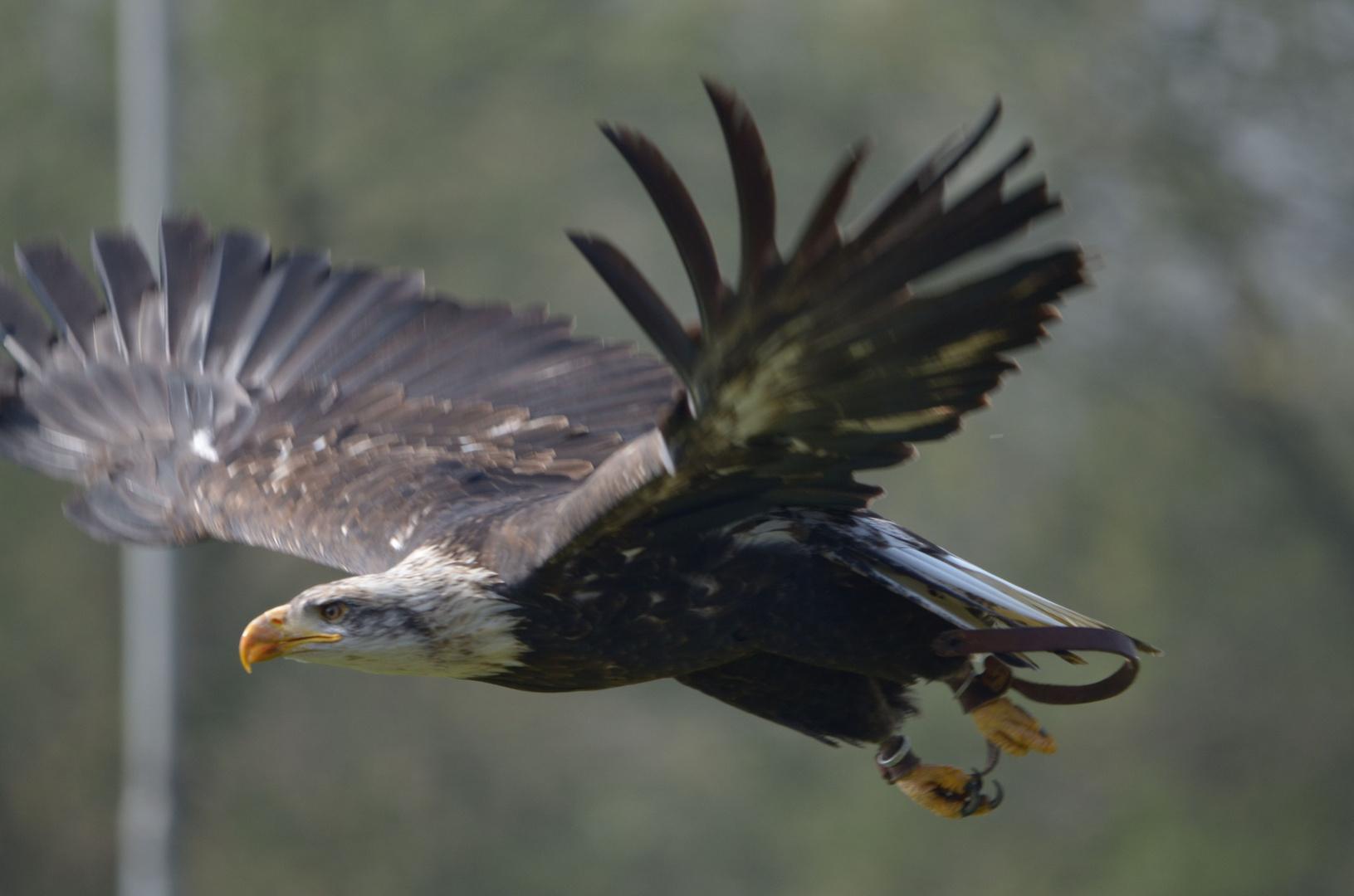 Weisskopfadler
