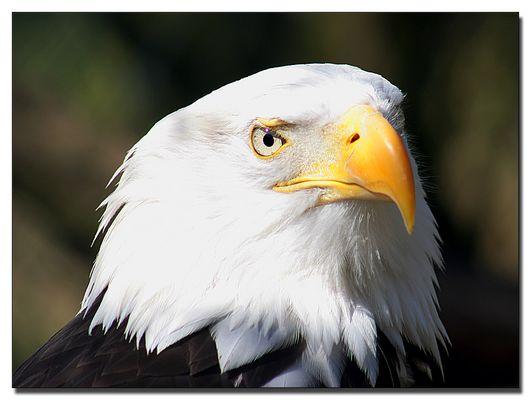 Weißkopfadler - der Jäger mit dem scharfen Blick