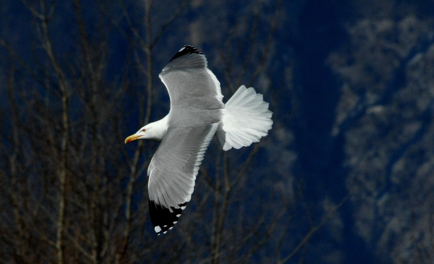 Weisskopfmöve im Anflug