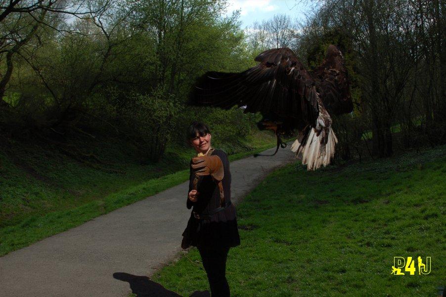 Weisskopfsee-Adler im Anflug