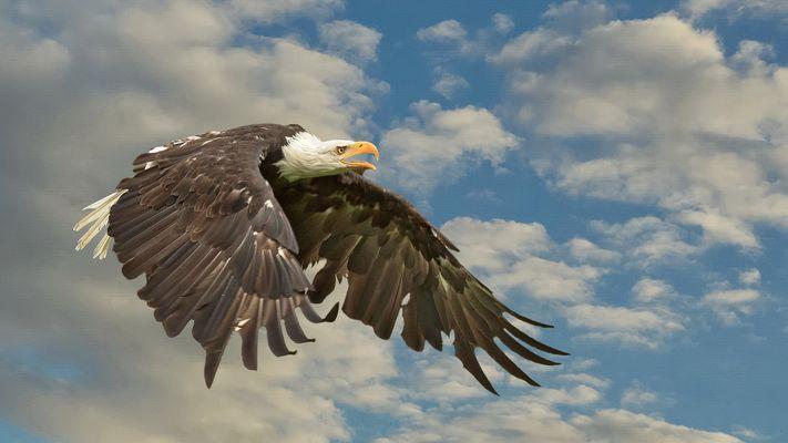 Weißkopfseeadler 002a