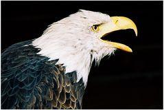 Weißkopfseeadler 02 ...