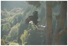 Weißkopfseeadler 03