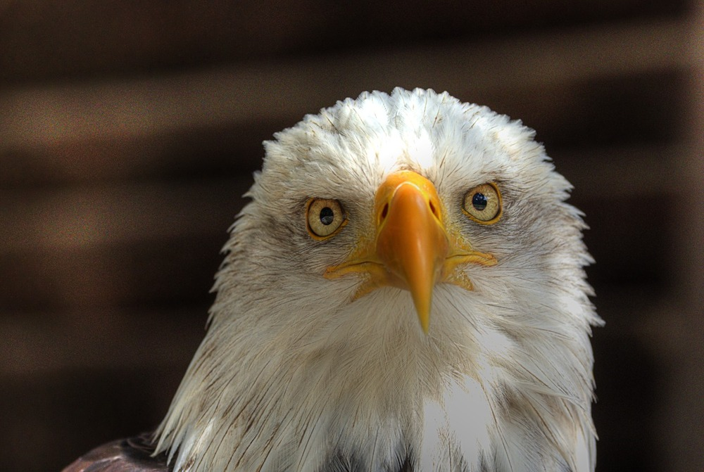 Weisskopfseeadler (2)