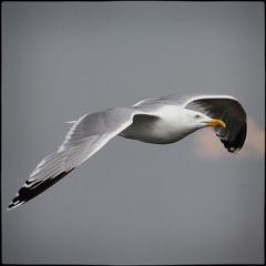 –– Weißkopfseeadler ––