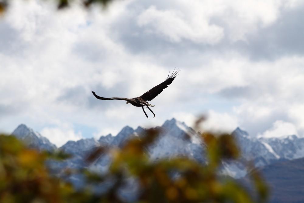 Weisskopfseeadler
