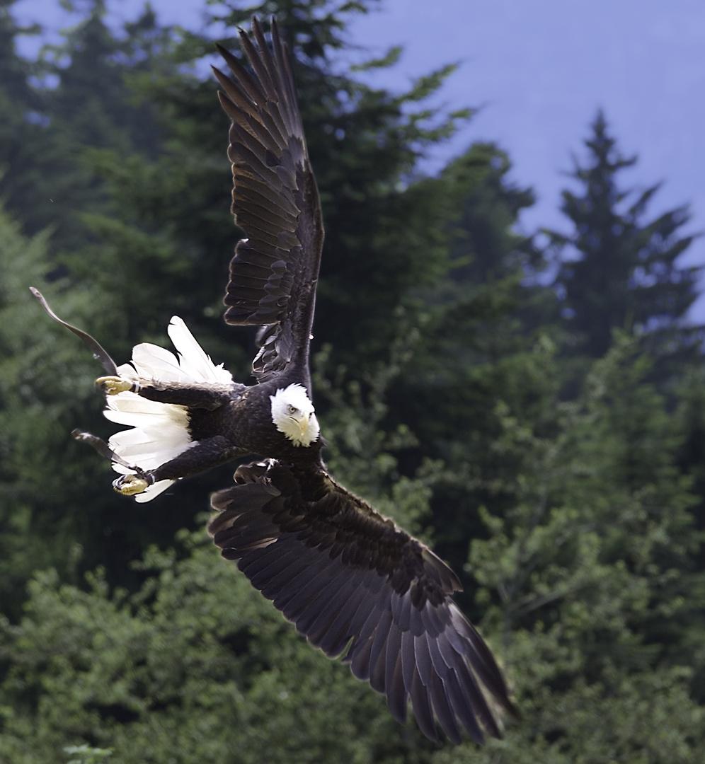 Weißkopfseeadler am Pfänder