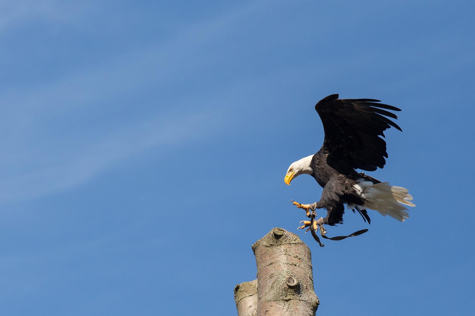 Weißkopfseeadler bei der Landung