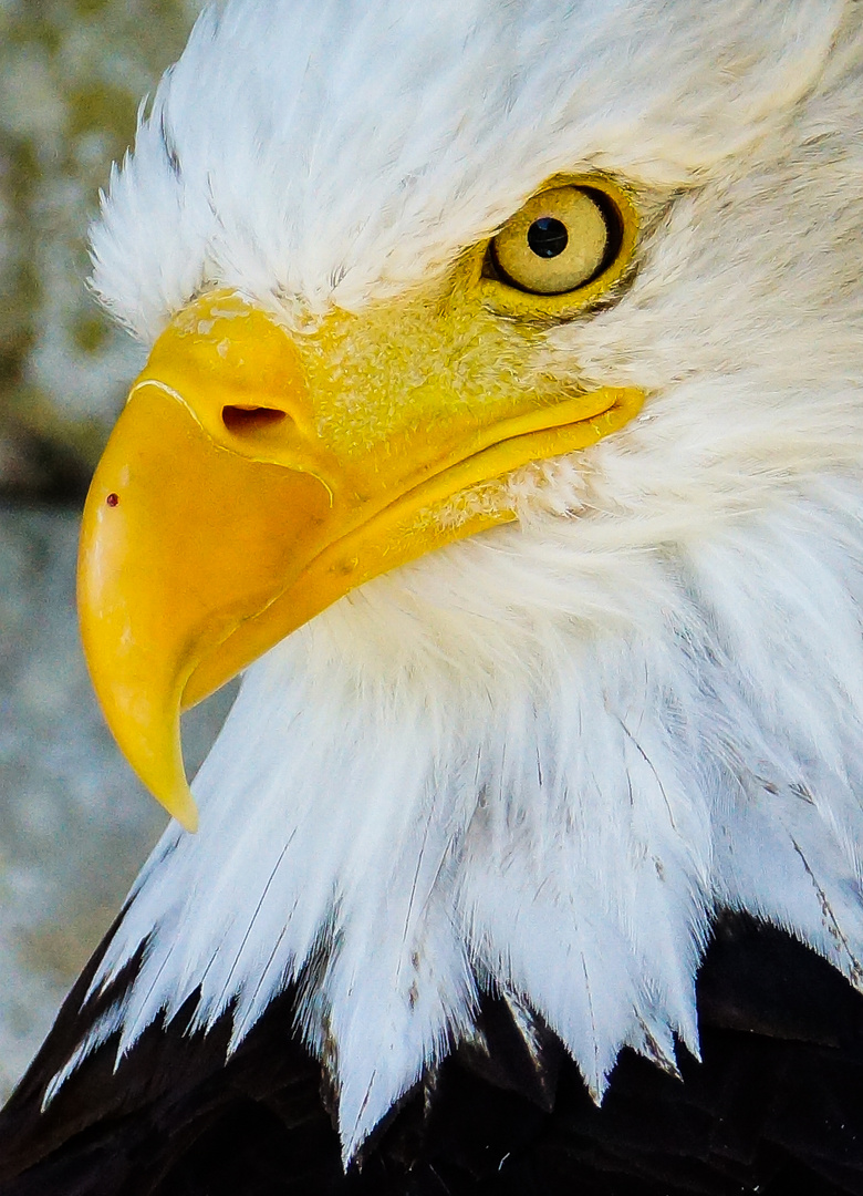 Weißkopfseeadler böser Blick 2