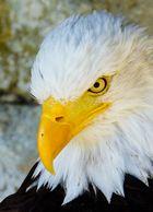Weißkopfseeadler böser Blick
