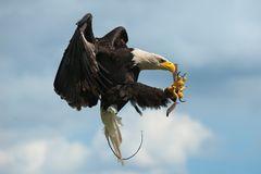 Weißkopfseeadler Flug 2