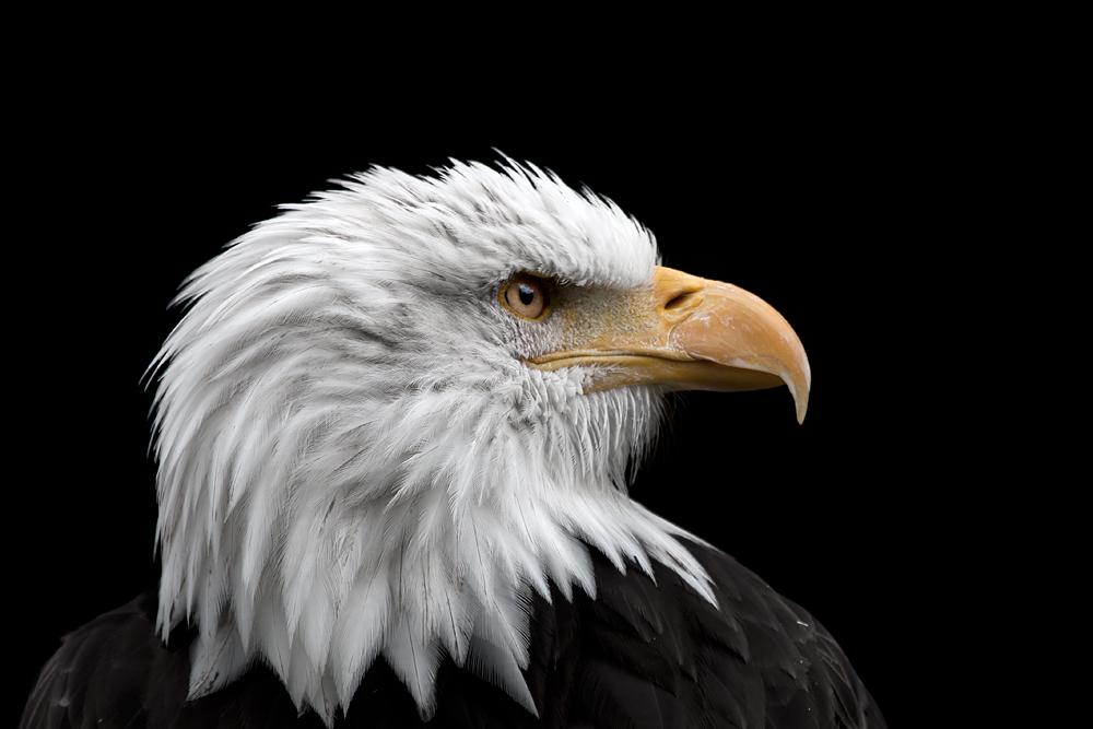 - Weißkopfseeadler im Portrait -