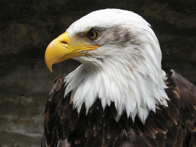 Weißkopfseeadler im Profil