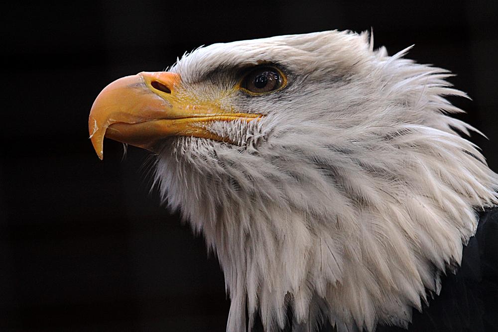Weisskopfseeadler im Profil