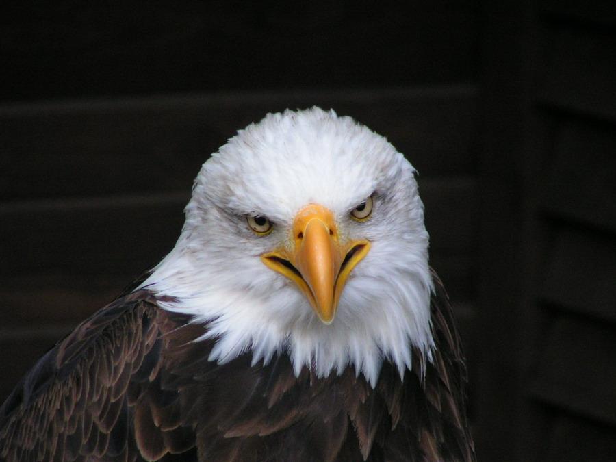 Weißkopfseeadler im Wildgehege Hellenthal