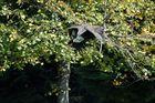 Weißkopfseeadler in Action