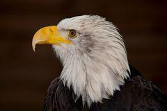 Weißkopfseeadler Porträt 1