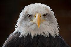 Weißkopfseeadler Porträt 3