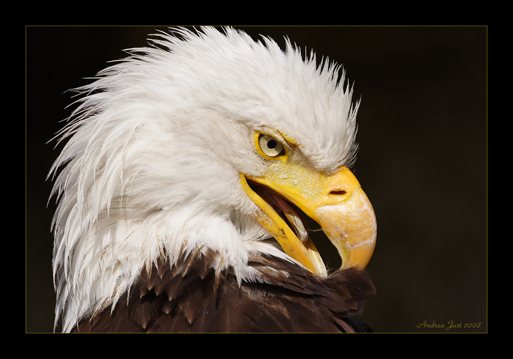 Weißkopfseeadler (Portrait)