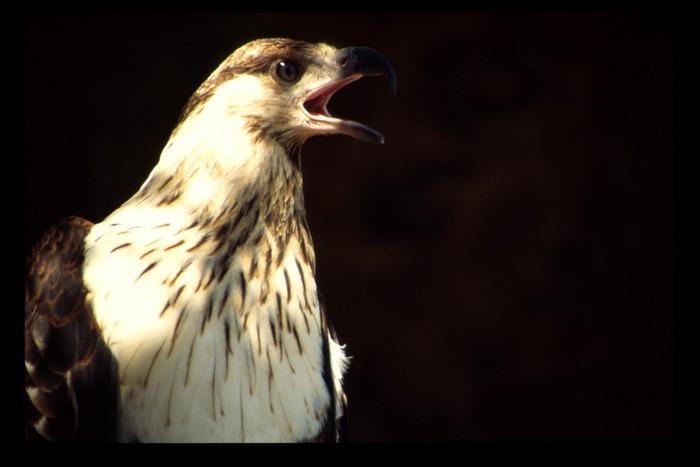 Weisskopfseeadler Profil