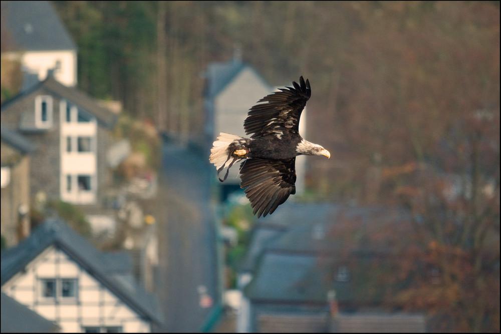 Weißkopfseeadler über Monschau