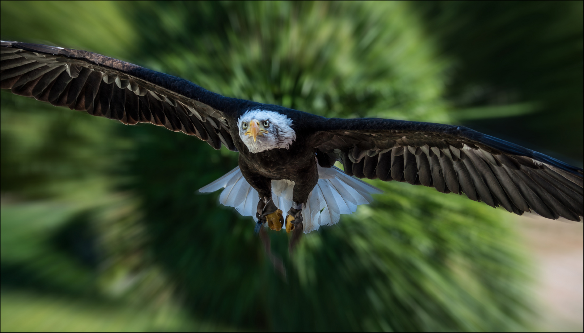 Weisskopfseeadler voll im Flug