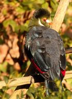 Weißohrturako (Tauraco leucotis)