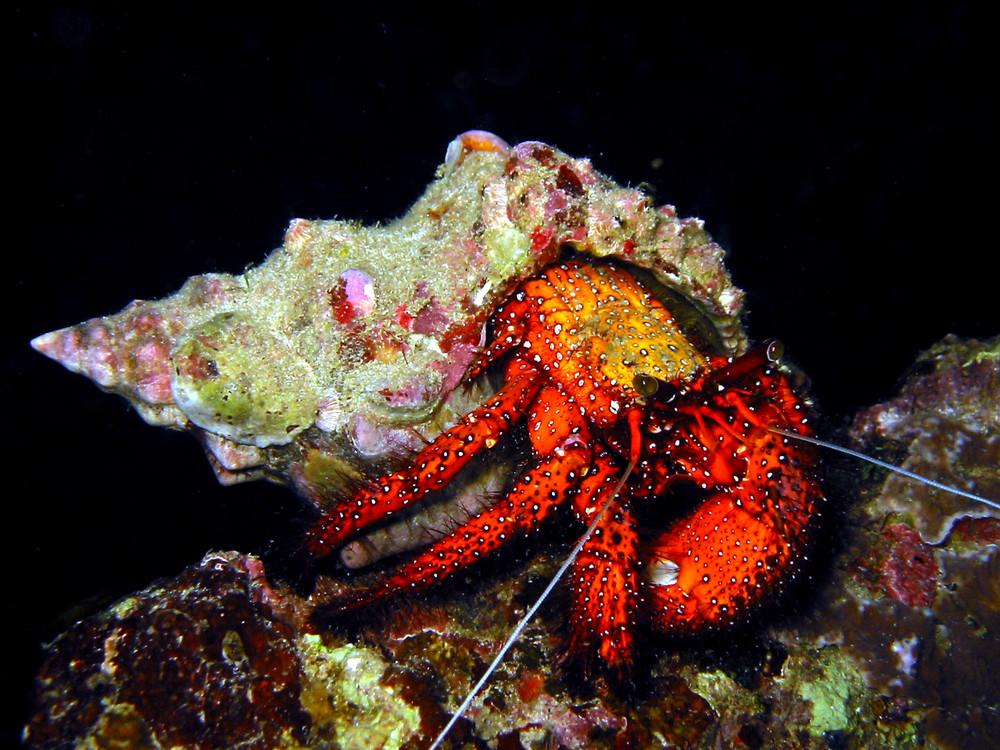 Weisspunkt Einsiedlerkrebs, White Spotted Hermit Crab, Dardanus megistos