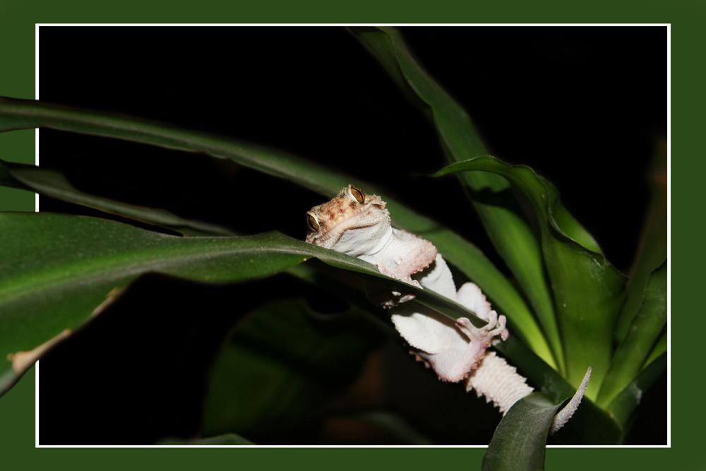 Weißpunktgecko (Pachydactylus bibronii)