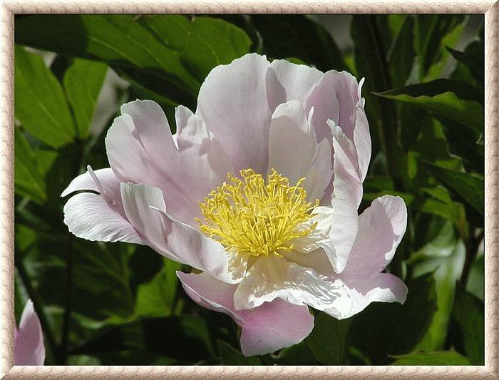 weißrosa Pfingstrosenblüte