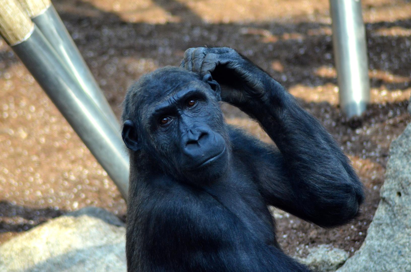 Weißrücken Gorilla