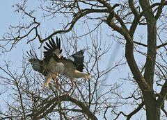 Weißstörche -Kampf in Baum-