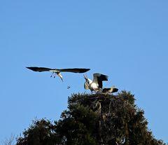 Weißstorch -Angriff aufs Nest-