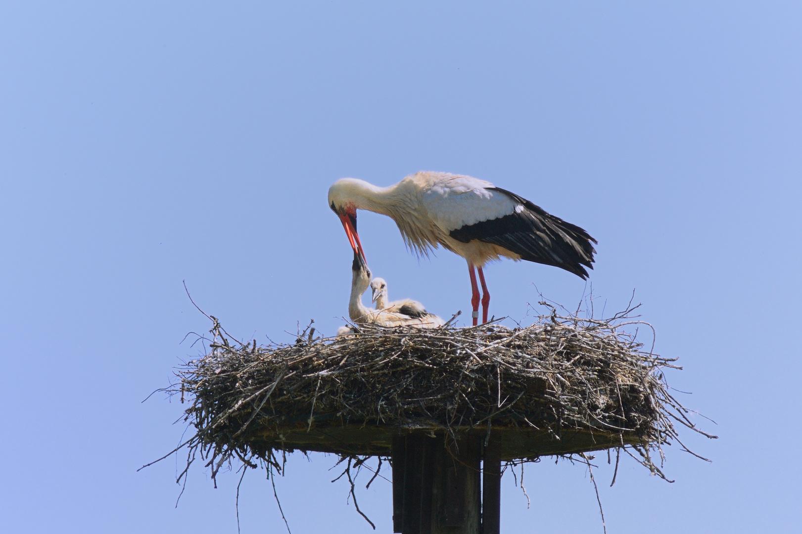 Weißstorch bei der Fütterung des Nachwuchses