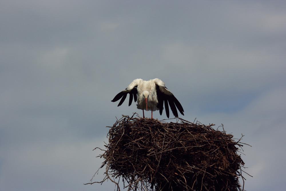 Weißstorch im Nest
