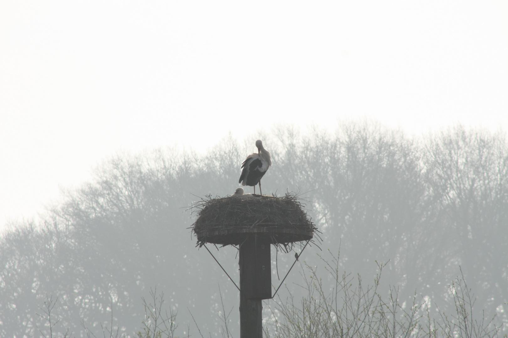 Weißstorch in seinem Nest