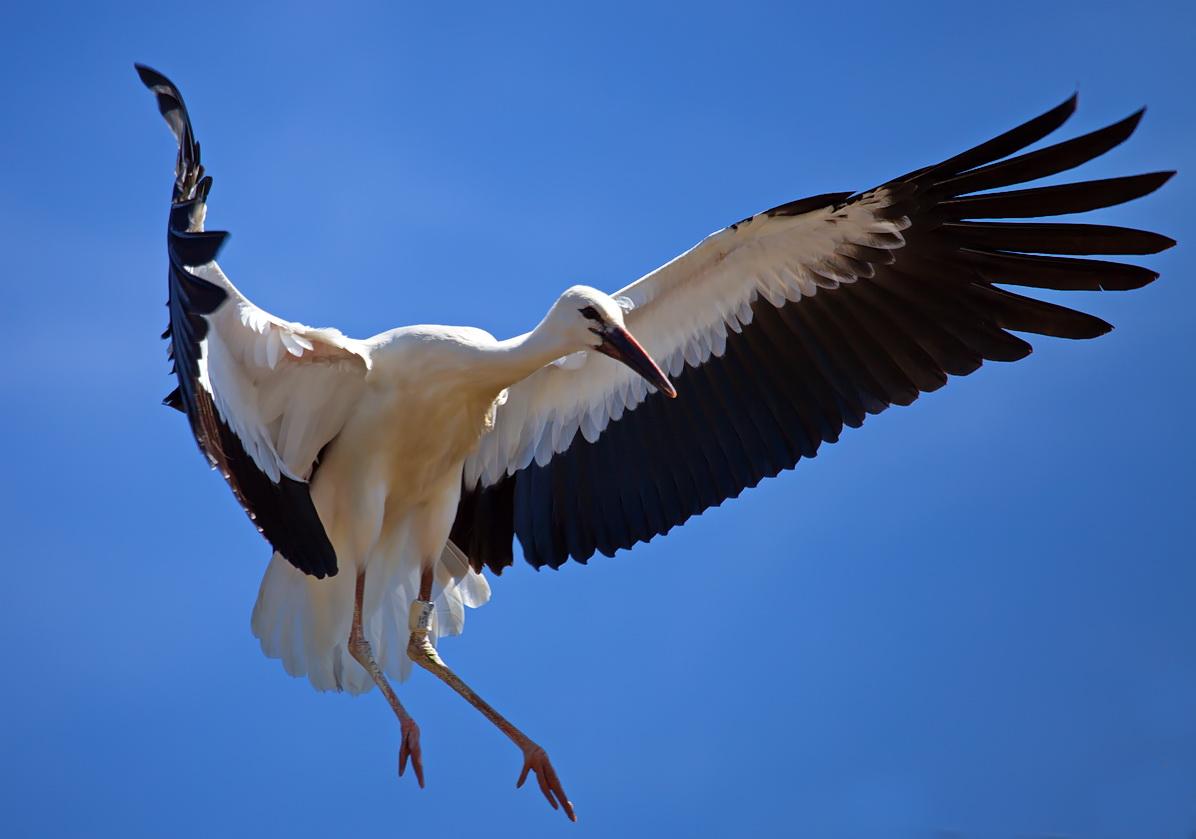 Weißstorch vor der Landung