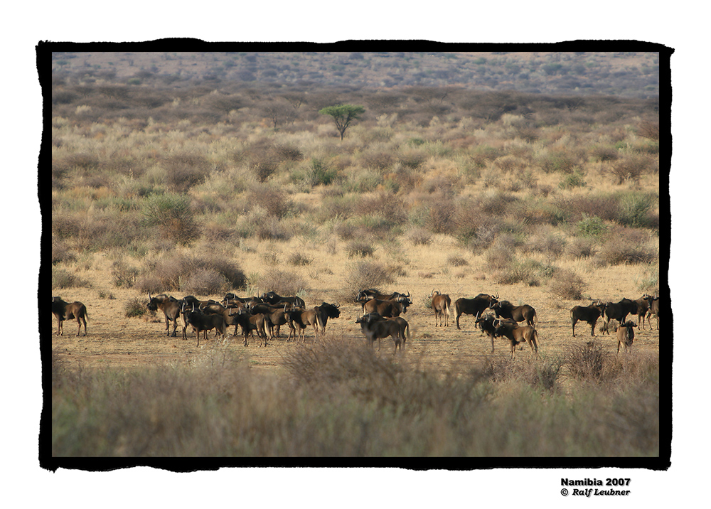 ''Weisswedel-Gnus auf der Piste'' farbig --- Namibia 2007 #005