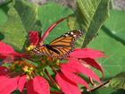 Weit geflogen (Monarch-Falter)